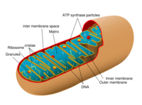 622pxdiagram_of_a_human_mitochondrionsvg